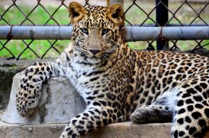 Animal  photo of an Cheetah